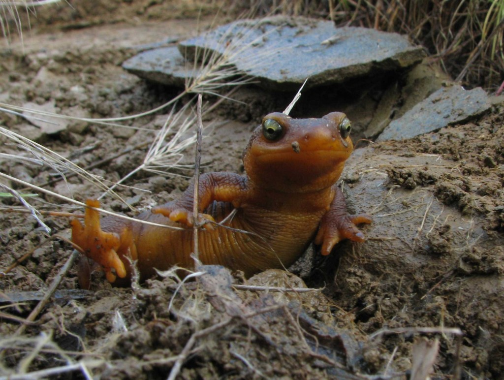 California Newt on the move.