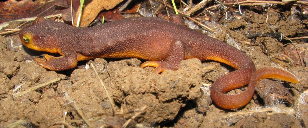 California newt in terrestrial phase