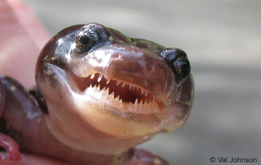 Teeth of Arboreal Salamander (Photo by Val Johnson).