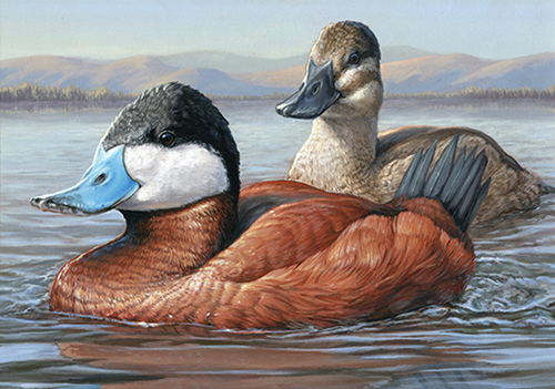 2014-15 Federal Duck Stamp - Ruddy Duck