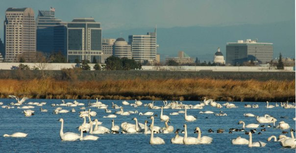 Tundra Swans at the Yolo Bypass Wildlife Area, Davis, California