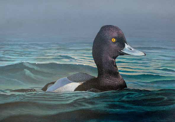 2014 California Duck Stamp - Lesser Scaup