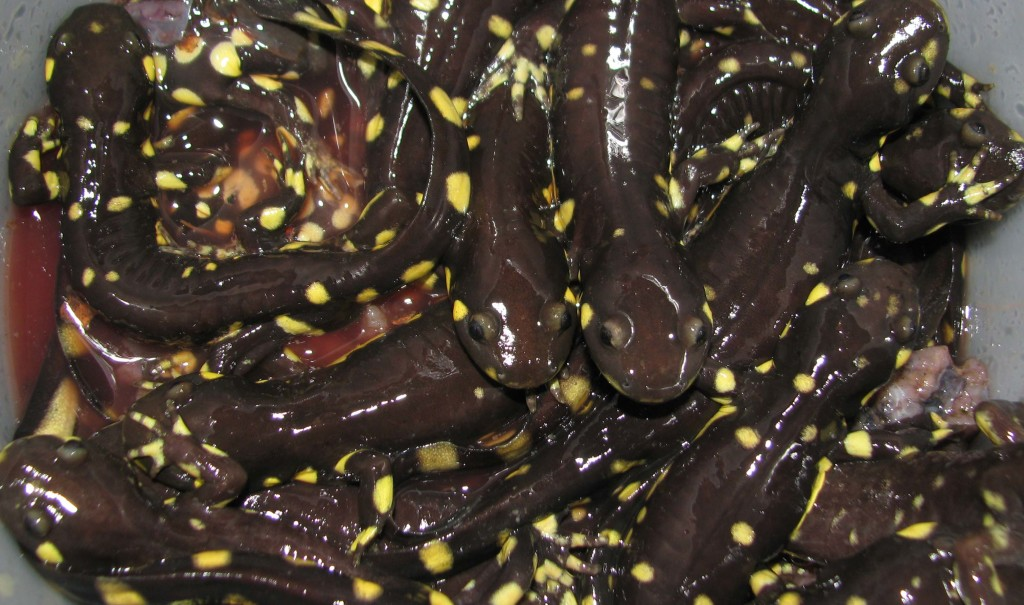 Some of the many California Tiger Salamanders found on Strawberry Road.