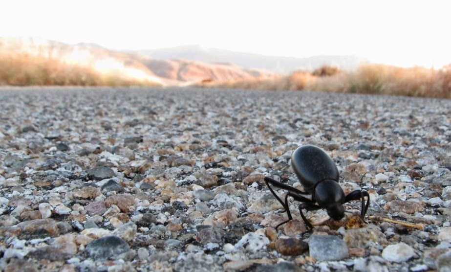 Darkling beetle on road to San Emigdio Canyon