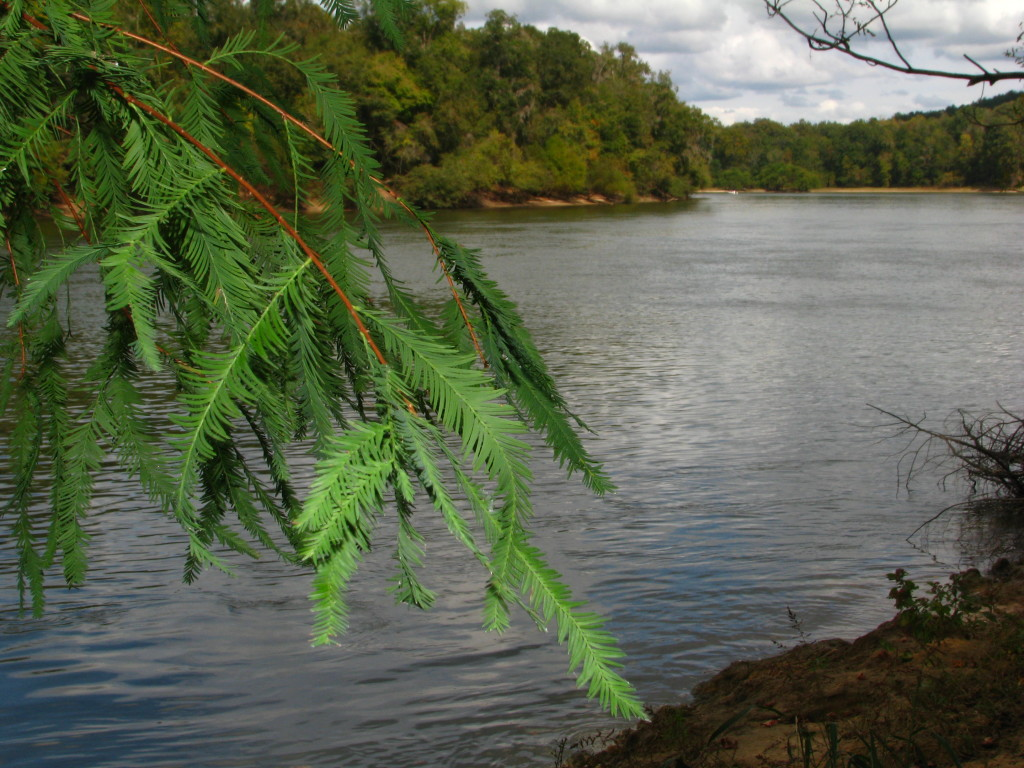 Bald Cypress along the Appalachicola River