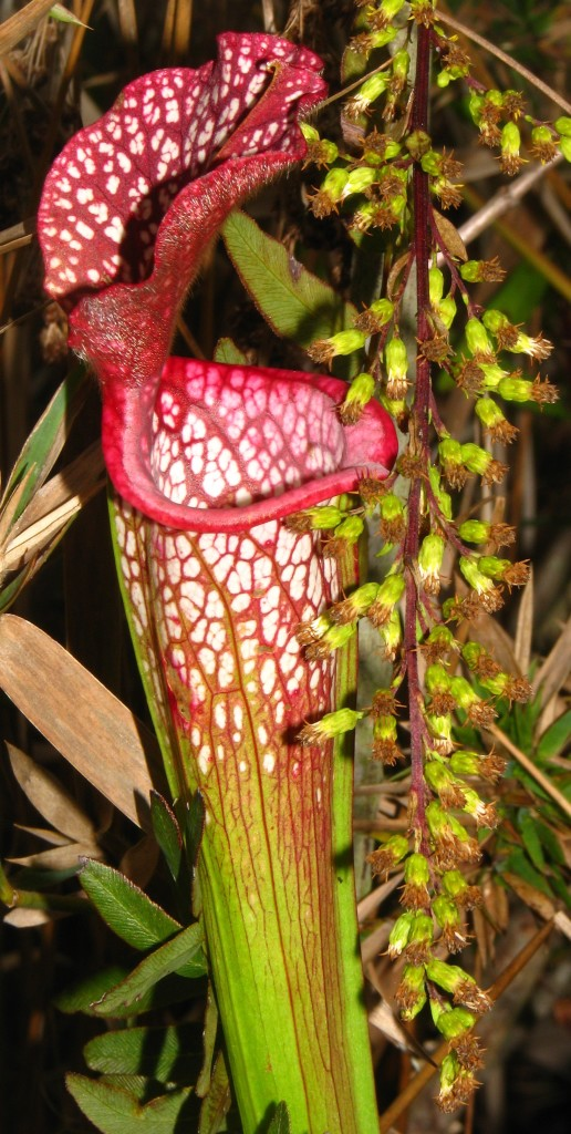 White Top Pitcher Plant